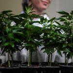 Cannabis «thérapeutique»: une appellation «abusive», selon l'Académie de pharmacie