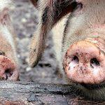 L'épidémie chinoise de grippe porcine menace l'héparine, un médicament universel